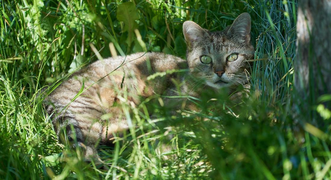 Kat der ligger i græs